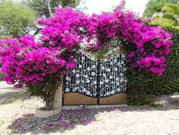 Hoa dây leo đẹp gọi tên sắc tím của hoa giấy